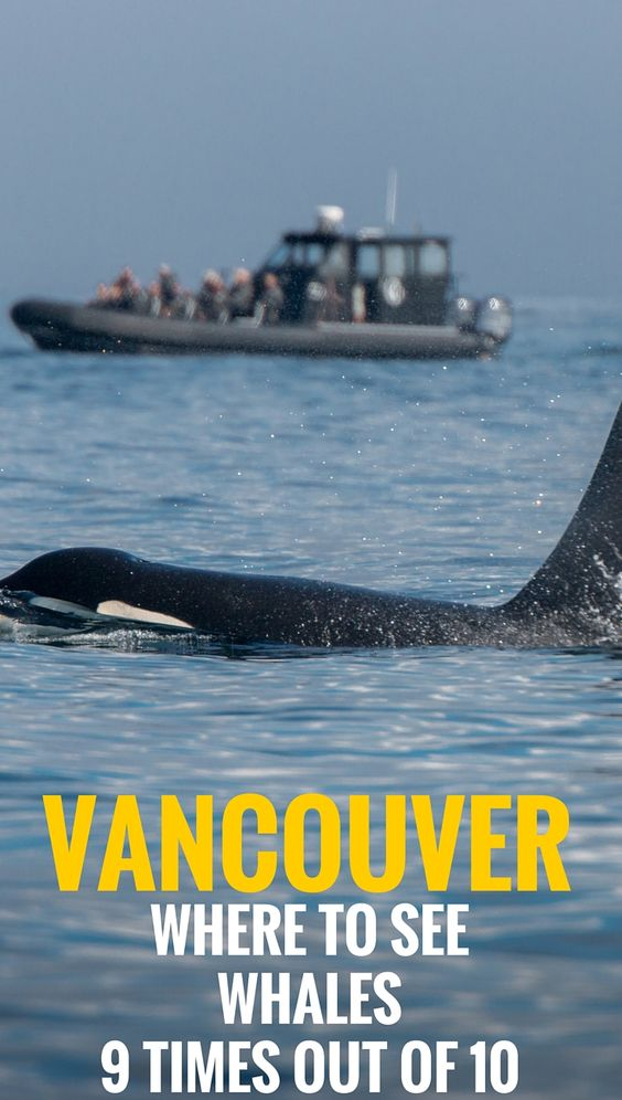 Find out everything you need to know before going on a whale watching tour in Vancouver, Canada. Everything to make your day out meeting wild Orcas truly memorable.  | Travel Vancouver, Canada | Family Travel. - I wish to point out that Orca are part of the dolphin family, not whales.