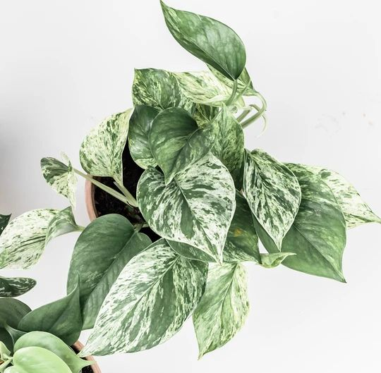 marble queen pothos, variegated varieties of pothos