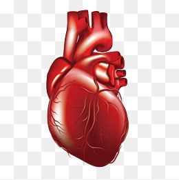 Vector Human Heart 3d Decoration Vessels Png Transparent Clipart Image And Psd File For Free Download Human Heart Human Vector Clip Art