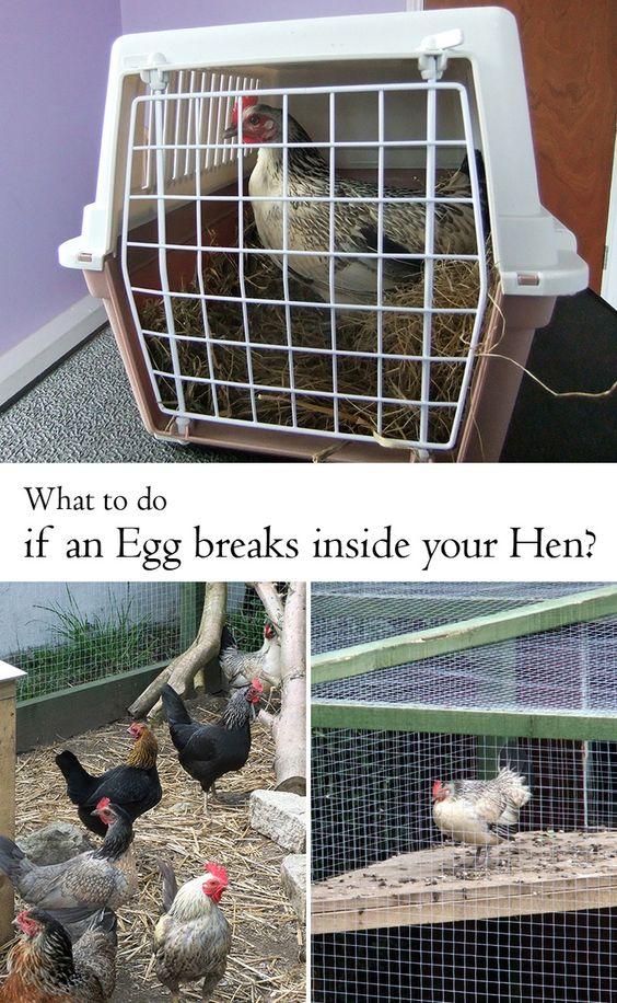 What if an Egg breaks INSIDE your Hen?: