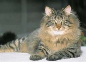 Norweigen Forest Cat. Wow! One beautiful and Unusual cat. So pretty.