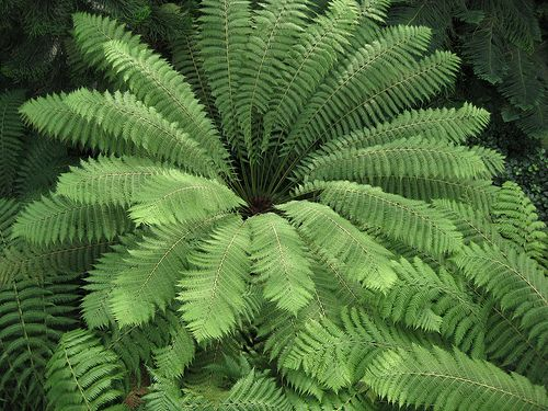 Trees, Cas and Ferns on Pinterest Ruffled Birds Nest Fern