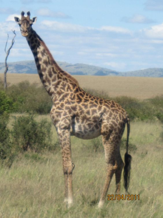 Maasai Mara Maasai Giraffe