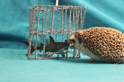 Ready for Shark Week! Hedgehog reverses roles in shark cage...: