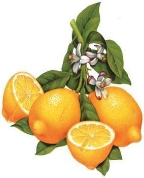 lemon+paintings | Painting, 7x9 in ©2004 by Douglas Schneider - Painting, lemon fruit ...:
