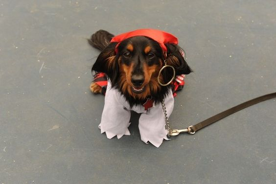 Captain Jack Sparrow at the 15th annual Northeast Ohio Dachshund Picnic at Plum Creek Park in Kent Saturday. Credit Debra-Lynn Hook