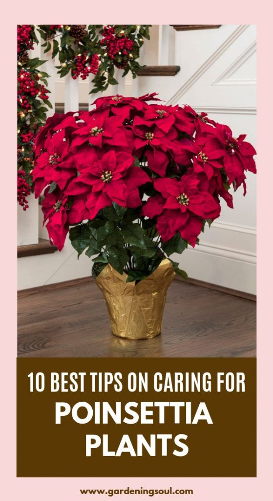 10 Best Tips On Caring For Poinsettia Plants Poinsettia Plant Poinsettia Care Plants