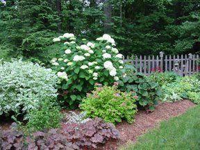 Solved the Annabelle Hydrangea flopping problem! (3' wire fence around plant)- Hydrangea Forum - GardenWeb