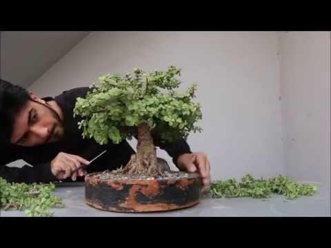 Pruning Jade Bonsai Youtube Jade Bonsai Bonsai Tree Care Dish Garden