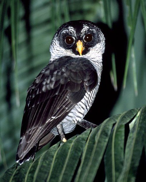 The Spectacled Owl is primarily a bird of tropical rain forests, being found mostly in areas where dense, old-growth forest is profuse. This species is largely nocturnal, starting activity right around the time of last light at dusk and usually being back on their roosts for the day around first light. It is a solitary, unsocial bird, usually roosting singly each day and only peaceable associating with others of their own species for reproductive purposes.