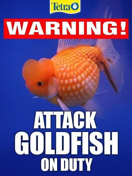 #fishmeme #tetra #attackgoldfish