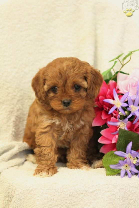 Sienna Cavapoo Puppy For Sale In New Holland Pa Lancaster Puppies Cavapoo Puppies For Sale Cavapoo Puppies Puppies For Sale