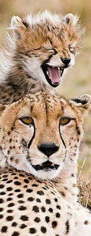 A Very Happy Cheetah Cub