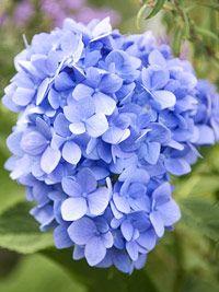 Information on growing Hydrangeas in the garden.