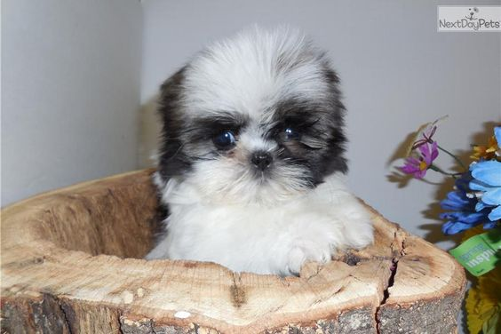 Meet Puppy A Cute Shih Tzu Puppy For Sale For 800 Chicago Shih Tzu Puppy One Pound Tiny Puppies Shih Tzu Shih Tzu For Sale