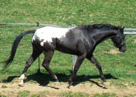 Horse Details – Appaloosa Horses for Sale
