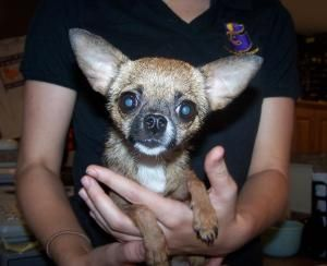 Tootsie is an adoptable Chihuahua Dog in Gainesville, FL. Please visit our website at www.gainesvillepetrescue.org....