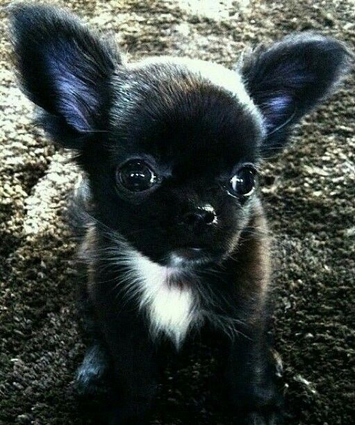 Long Haired Chihuahua Puppy Chihuahua Puppies Cute Baby