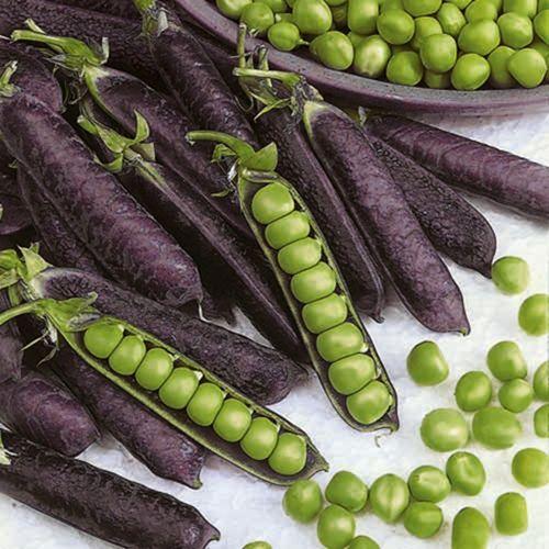 Shiraz Mangetout Purple Pea Podded Vegetables Purple Vegetables Fruit Garden