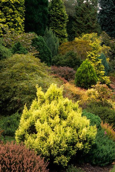conifer garden  heathers and mixed dwarf conifers