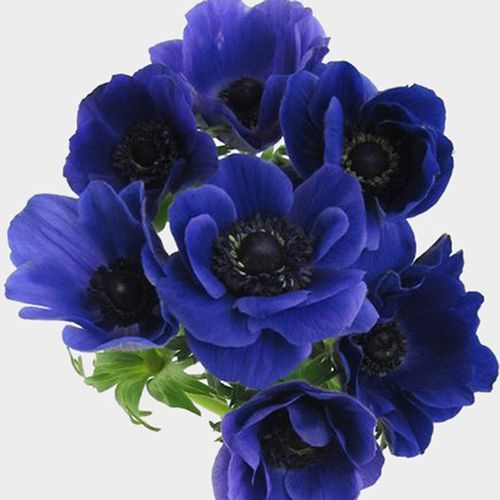 Anemone Blue Flowers 50 Stems Anemone Flower Flowers Anemone Bouquet Wedding