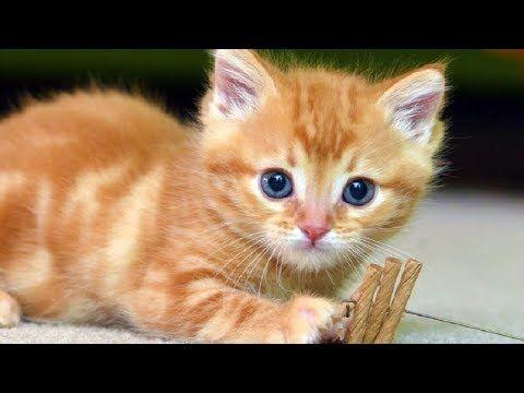 Cats Meowing Cute Kittens Meowing Cat Meowing Video Kitten