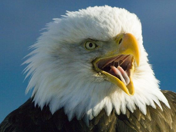 http://eagles-wallpapers.info/wp-content/uploads/wallpapers/Screeching_Bald_Eagle-wallpaper.jpg