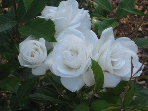 For Mom...'Iceberg' A Rose that glows (in the dark) maybe for outside of your moon garden.: Flowers Gardens Butterflies, Moon Gardens, Garden Roses, Beautiful Roses, White Roses Garden, Rose Garden