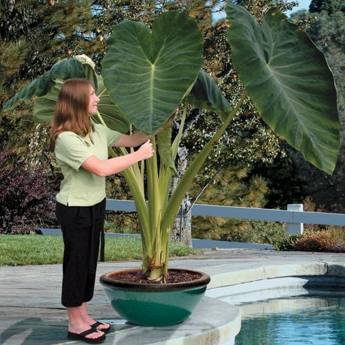 8 Small Gardens That Will Inspire You In Any Season: Elephant Ears, Jack O'connell And Elephant Ear Plant On