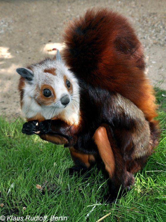 Petaurista Alborufus Castaneus Chestnut Red And White Giant Flying Squirrel Cute Small Animals Animals Beautiful Flying Squirrel