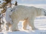 Photographer Endures Extreme Arctic Weather for Perfectly Playful Polar Bear Photos | The Weather Channel