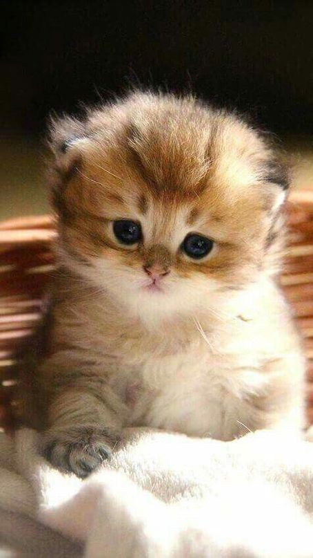 Wallpaper Iphone Android Background Followme Tumblr Beautiful Girly Art Baby Cats Cute Baby Cats Kittens Cutest
