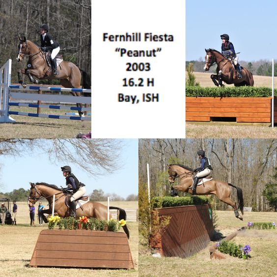 Talented Training Packer and Places at Prelim: Fernhill Fiesta « Sport Horse Nation
