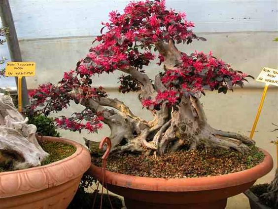 Mulberry Bonsai | Hachi-uye | Pinterest | Bonsai