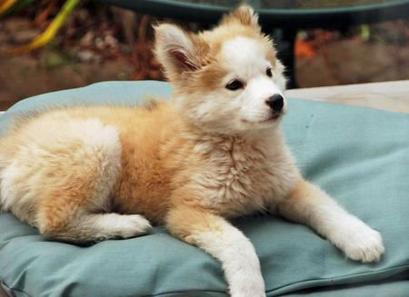 golden retriever/husky mix. WHY DOES THE WHOLE WORLD NOT HAVE ONE OF THESE FREAKING ADORABLE DOGS??