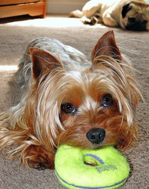 Yorkshire terrier, Yorkshire and Yorkshire terrier dog on