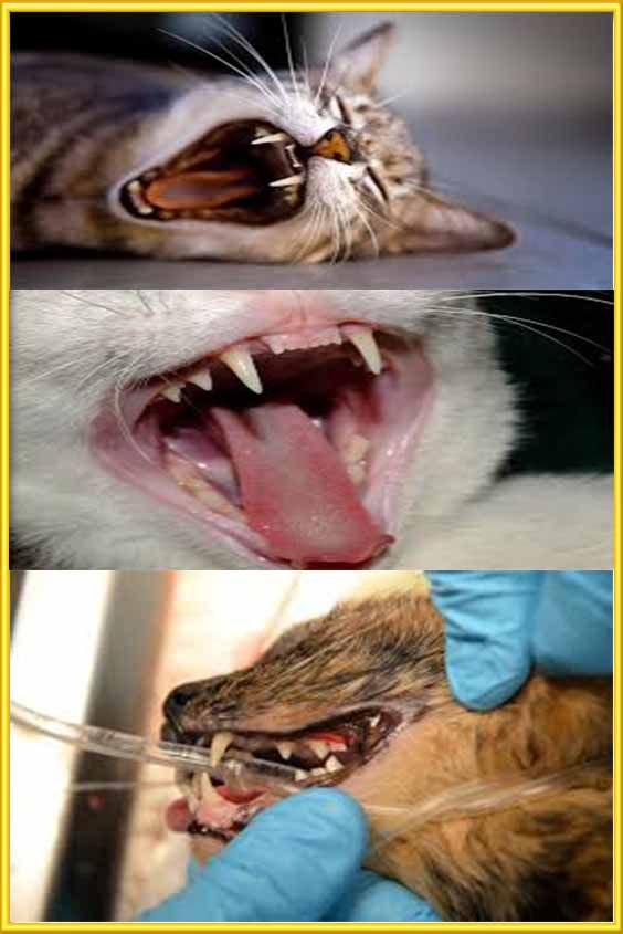 Dental Problems In Cats With Images Dental Problems Canine