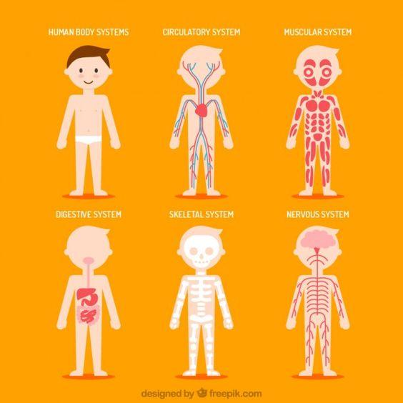 Simpáticos sistemas del cuerpo humano Vector Gratis