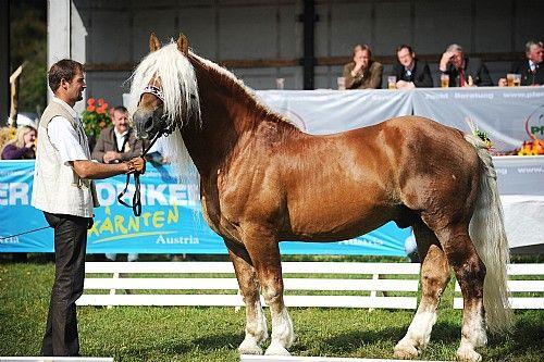 Noriker / Pinzgauer - stallion Famos Vulkan XVI