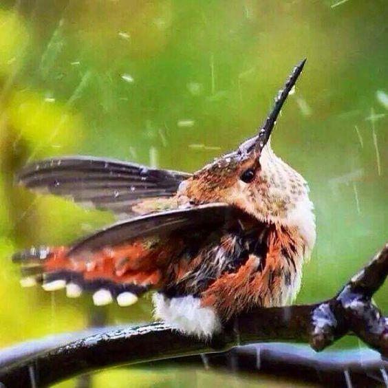 Humming bird in the rain