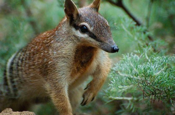 Numbat | Labels: Mammal » Marsupials » Numbat