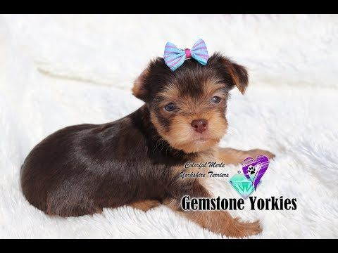 Pin On Puppy Yorkie