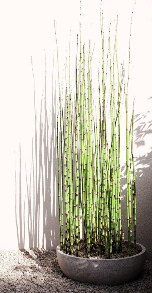Equisetum japonicum ou prêle japonaise (tokusa), plante de bassin par excellence. Peut être placée en bacs au soleil ou à mi-ombre dans une terre humide. Résiste jusqu'à -15°C