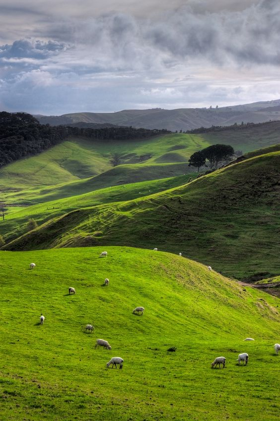 Grazing sheep in New Zealand. Photo by Christian König