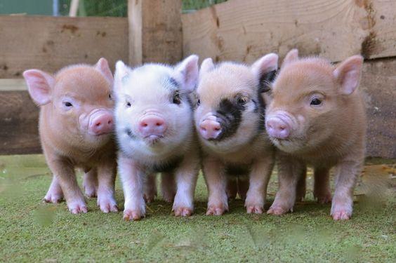micro-mini-pigs-for-sale-petpiggies