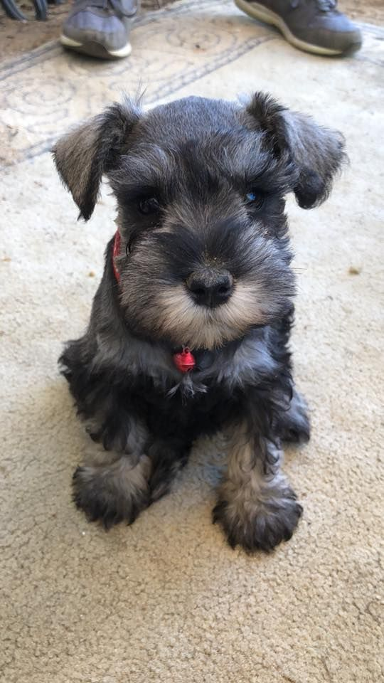 Pin By Patricia Bussard On Schnauzers No Other Dog Like Them Pug Puppies Black Pug Puppies Pug Puppies For Sale