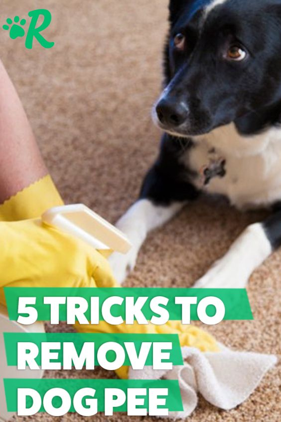Dog Pee Smell On The Carpet How To Get Rid Of It For Good Dog