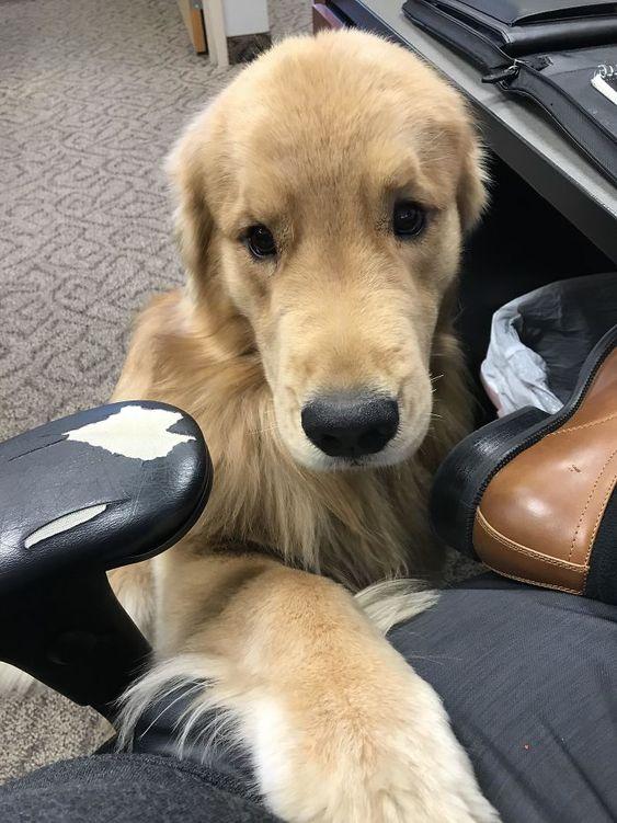 30 fois où des retrievers ont prouvé qu'ils sont les meilleurs chiens au monde – ipnoze