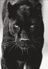 Image Result For Realistic Panther Tattoo Pantera Animales Panteras Felino Fotos De Animales Salvajes
