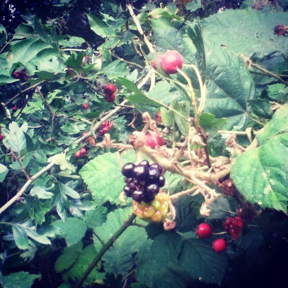 Blackberries. Mauritspark De Meern